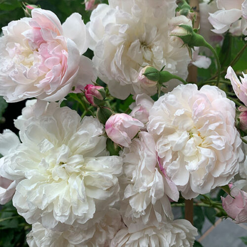 Princess Louise - Pink Rambling Rose.