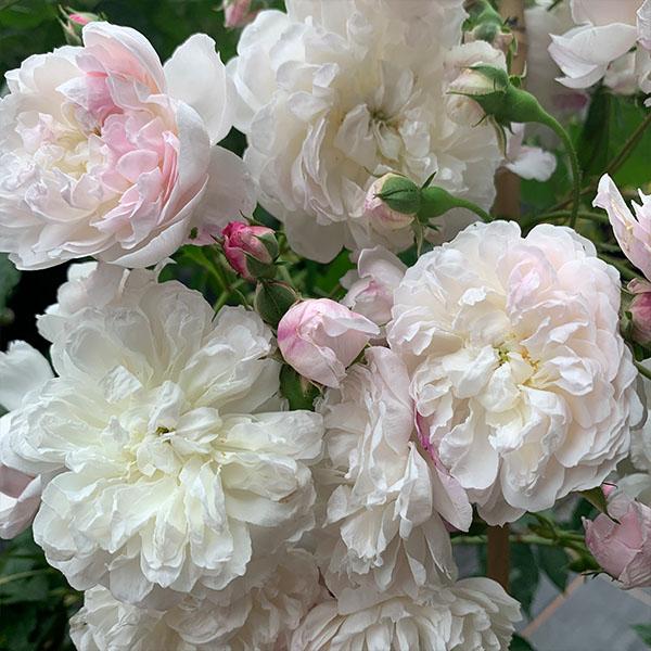 Princess Louise - Pink Rambling Rose.