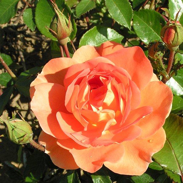 Pat Austin - English Rose