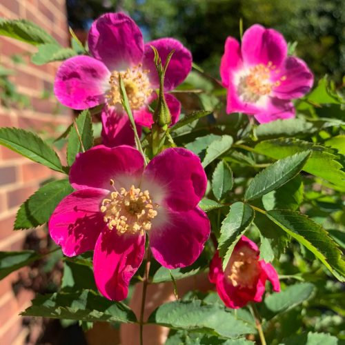 Rosa Pendulina The Alpine Rose is a pink species rose from Europe.