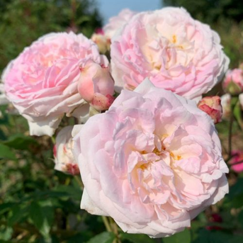 Bouquet de la Mariee is a pink Damask Rose.