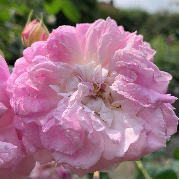 Bouquest de la Mariee is a pink Damask rose from 1858.