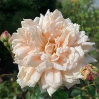 Earl of Eldon is a noisette climbing rose with a buff colour.