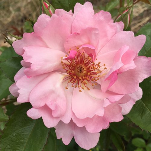 Vanessa a Modern Shrub Rose by Trevor White Roses