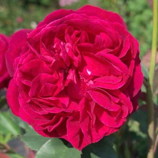Mrs Reynolds Hole is an old deep pink Tea Rose.