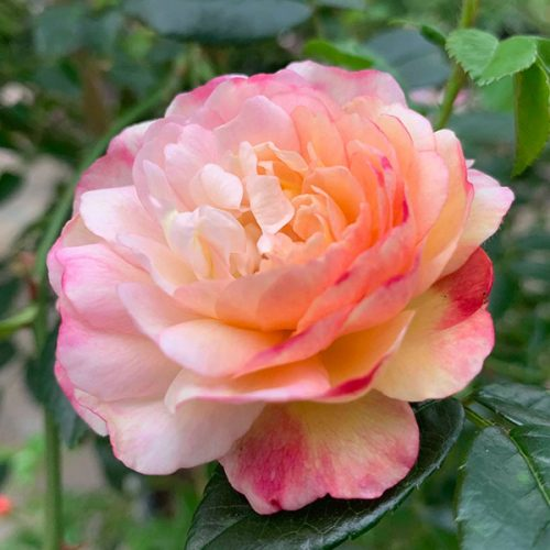 A bicolor rose called Maxime Corbon