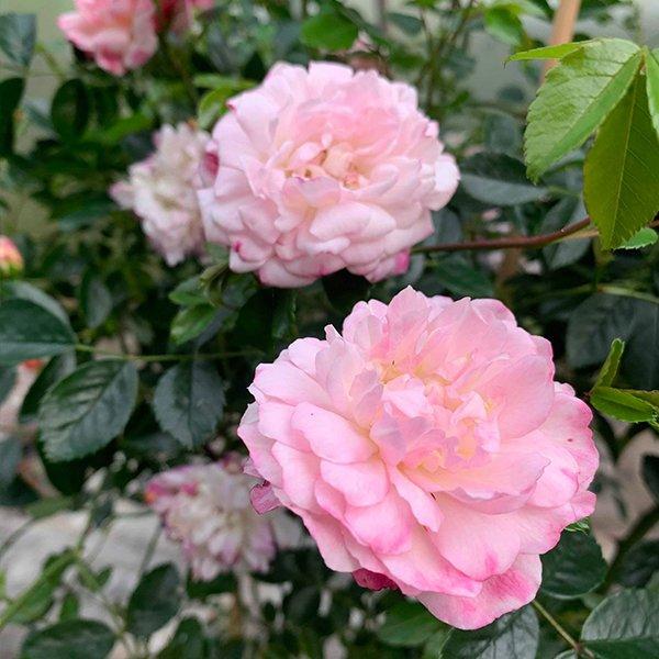 Maxime Corbon an interesting Rambling Rose.