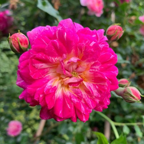 Alexandre Girault is a bicolour rambling rose with healthy foliage.