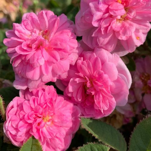 De Meaux is a petite centifolia rose.