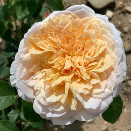 English Garden is an old David Austin yellow rose.