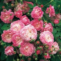 Flora a pink rambling rose.