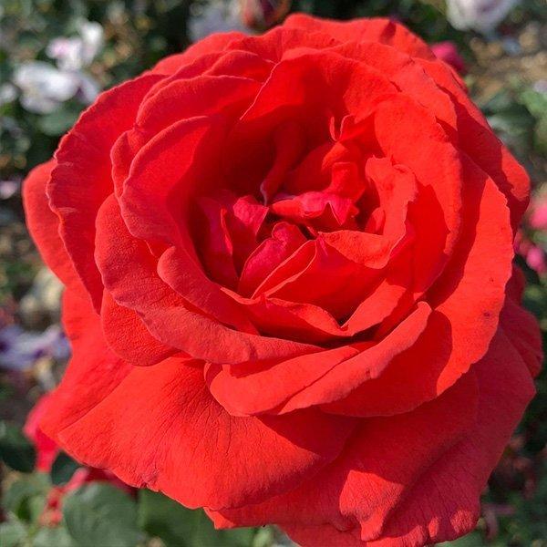 Fragrant Cloud a bright red shrub rose.