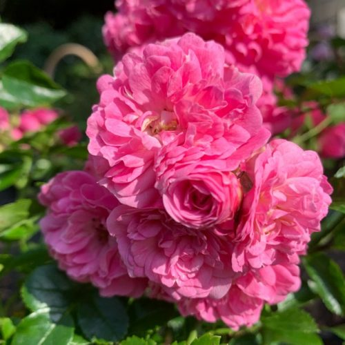 Lady Gay is a beautiful old rambling rose.