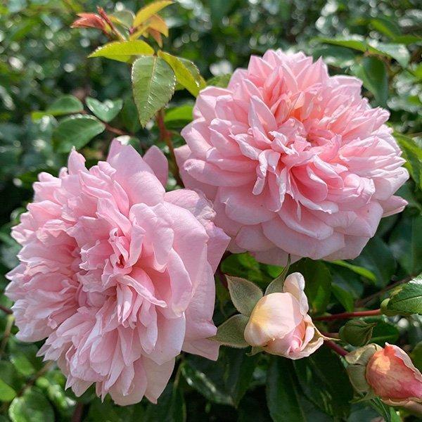 Paul Transon a pink/apricot rambling rose.