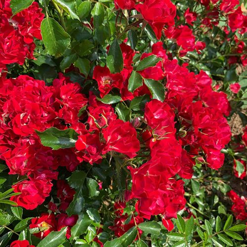 Rambling Rosie is a red rambling rose which repeat flowers.