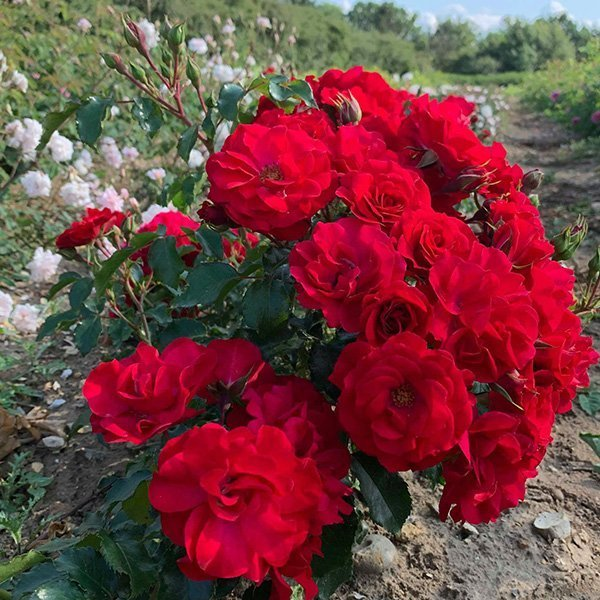 Red Finesse is a beautiful modern red rose.