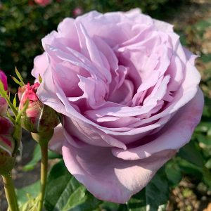 Sandra is a pale lilac coloured Renaissance Rose with massive blooms.