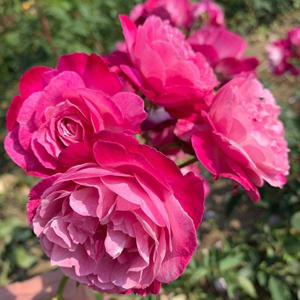 Sophie Perpetual is a repeat flowering China Rose.