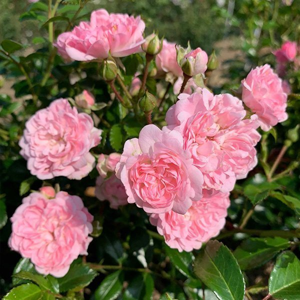 The Fairy is a pink rose with outstanding repeat flowering blooms.