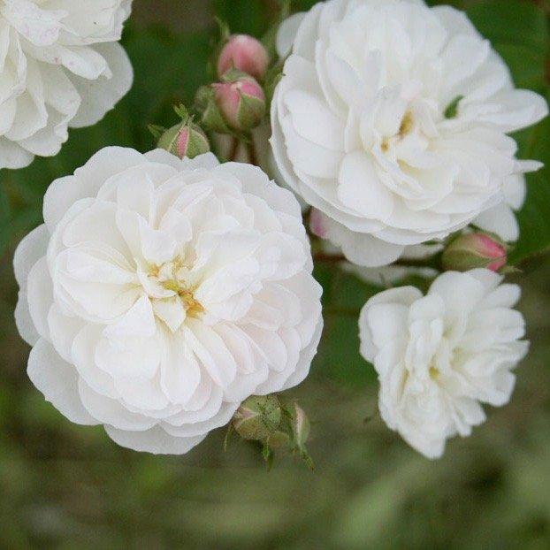 White Rambling Rose Mme d'Arblay