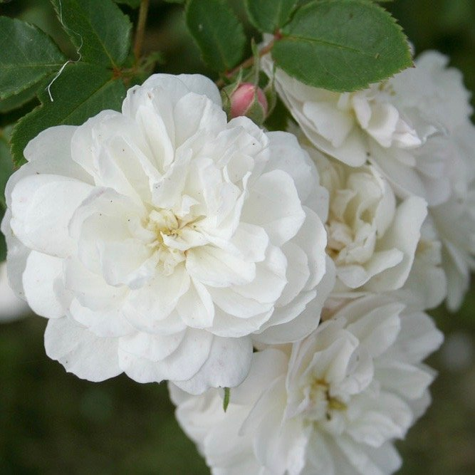 Madame d'Arblay is a white Rambling Rose.