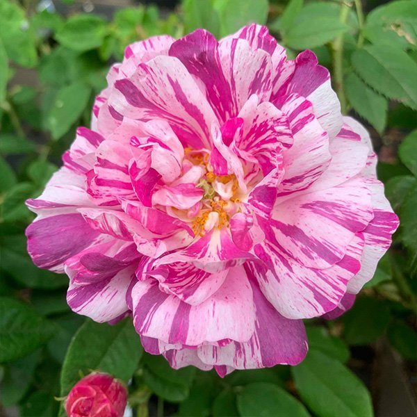 Camaieux is a pink and white striped Gallica Rose.