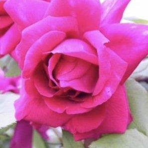 A purplish pink climbing Rose called Triple des Noisettes.