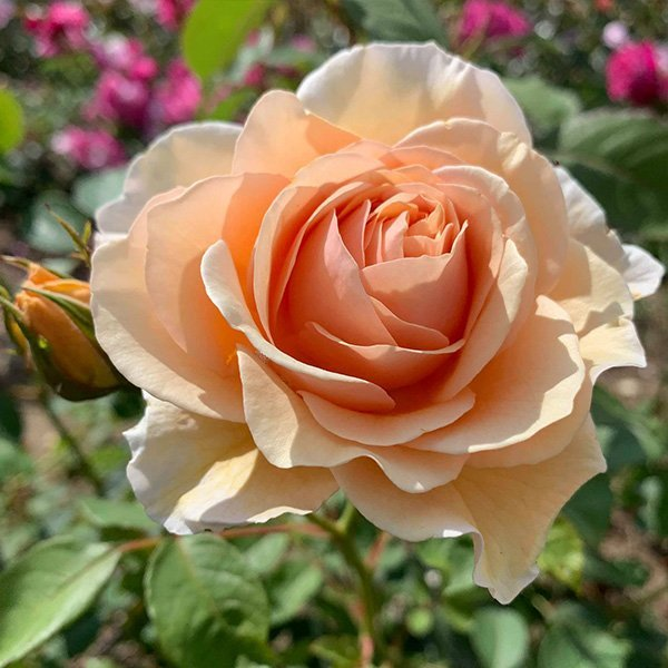 Lolabelle also known as Lois is a honey coloured rose introduced by Trevor White.