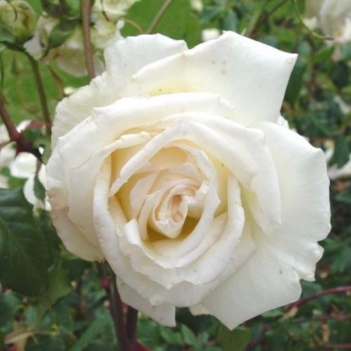 Mrs Foley Hobbs is a white hybrid tea rose.