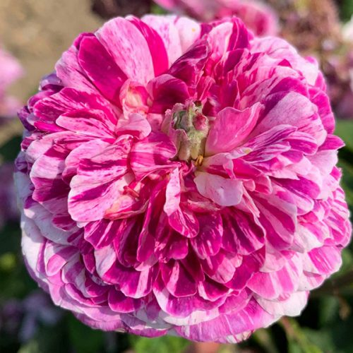 Tricolore de flandre is a striped pink and white gallica rose.