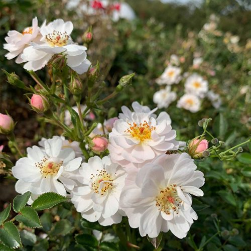 Avon a white ground cover rose.