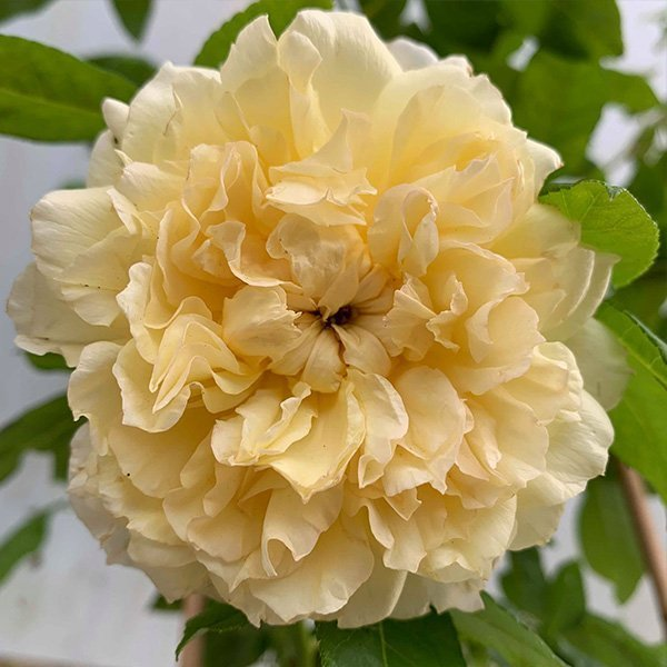 Celine Forrestier is a yellow Climbing Rose.