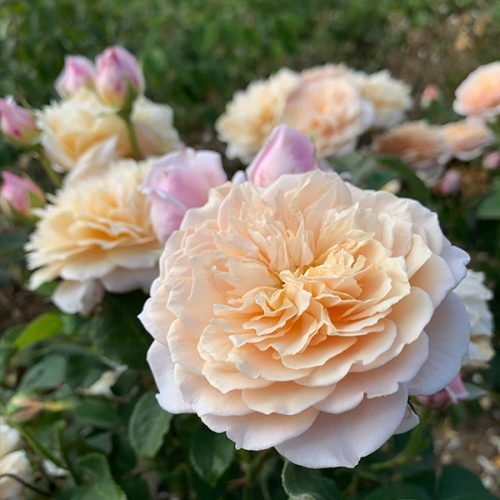 English Roses Trevor White Roses Specialist Growers Of Ancient Roses
