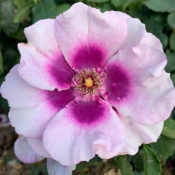 Eyes for You. A persica rose with a purple centre.