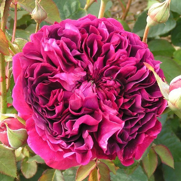 William Shakespeare 2000 rose, slowly fades to purple.