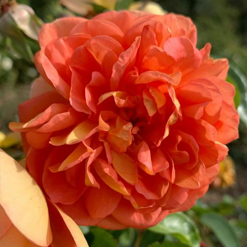 Pat Austin an orange David Austin Rose.